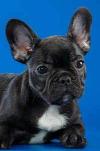 1440x2560 Black French Bulldog Cute Puppy