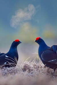Black Grouse Birds