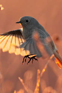 240x320 Black Redstart Bird