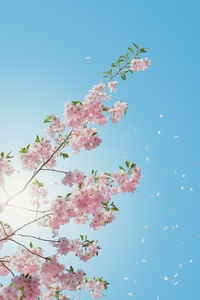 320x480 Blossom Flowers