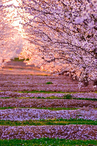 Blossom Nature Pink Flowers Trees