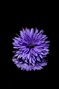 Blossom Purple Flower Black Background Reflection