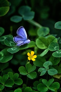Blue Butterfly Clover 4k