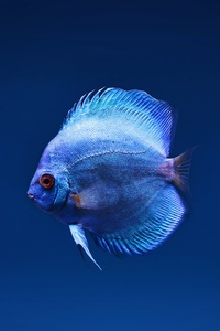 1125x2436 Blue Discus Fish