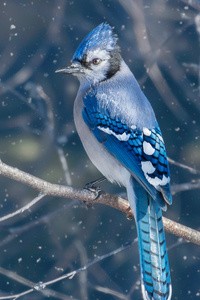 640x1136 Blue Jay Bird 4k