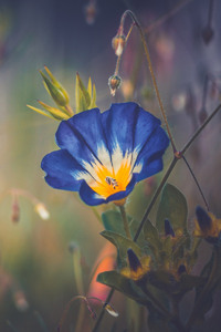 720x1280 Blue Morning Glory Flower