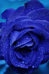 320x480 Blue Rose 4k