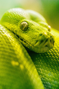 2160x3840 Boa Green Snake 5k