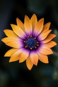 Bright Orange Purple Flower 8k