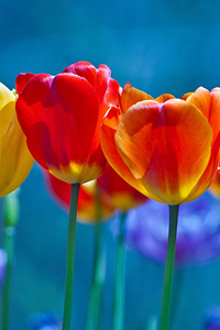 720x1280 Brightly Colored Tulips