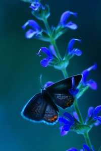 640x960 Butterfly Blue Flowers