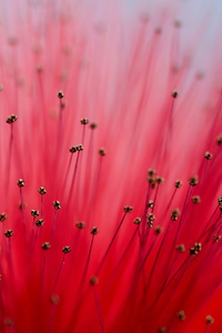 1280x2120 Calliandra Flowers 4k