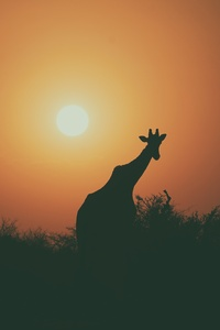 Camel Silhouette