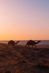 Camel Walking Through Desert