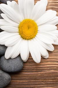 Camomiles Stones White Flower 4k