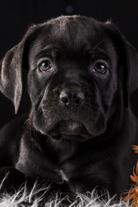 1125x2436 Cane Corso Dog Puppy 4k HD