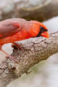480x854 Cardinal Bird 5k