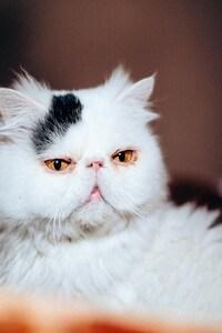 480x800 Cat Purebred White