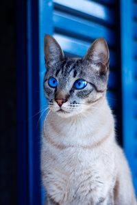 1080x2160 Cat With Blue Eyes