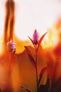 1080x2280 Celosia Flowers Floara 5k