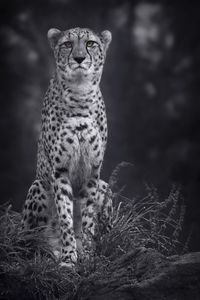 1280x2120 Cheetah Monochrome 4k