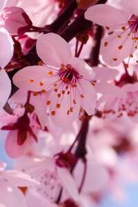 320x480 Cherry Bloosoms
