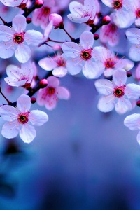 240x320 Cherry Blossom 4k