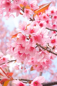750x1334 Cherry Blossom Tree Branches 4k