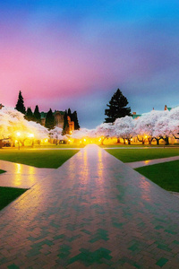 Cherry Blossom Tree Park 4k