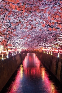 1242x2688 Cherry Blossom Trees Covering River Canal