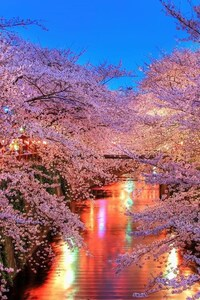 320x480 Cherry Blossom Trees