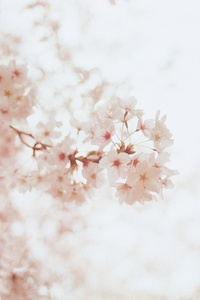 1440x2560 Cherry Blossoms Flowers