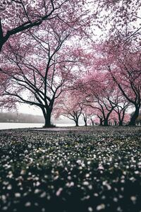 1080x2280 Cherry Blossoms Trees 4k