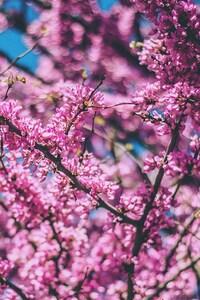 320x480 Cherry Flowers Pink