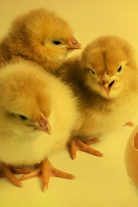 Chickens Chicks