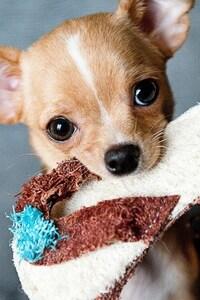 320x480 Chihuahua Puppies