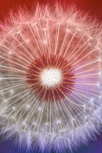 640x960 Close Up Dandelions