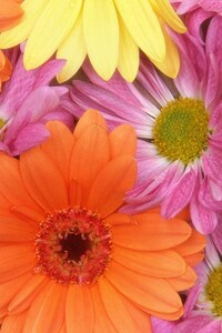 720x1280 Colorful Daisies