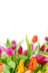 720x1280 Colorful Tulips