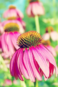 1440x2560 Coneflower Purple