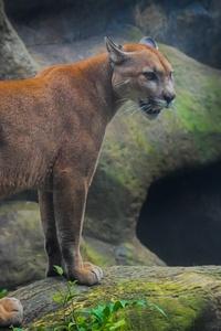1125x2436 Cougar 5k