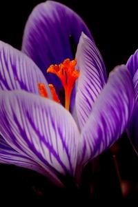 540x960 Crocus Flower