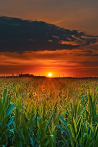 Crop Field Sunset
