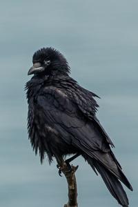 240x320 Crow 4k