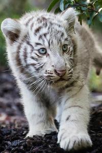 Cute Cub Bengal White Tiger