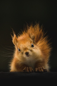 Cute Squirrel 4k