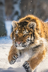 1080x2280 Cute Tiger Cub Running