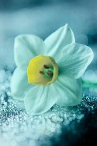 320x480 Daffodil Flower Petals Drops