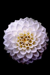 1080x2280 Dahlia Floral Flower 5k
