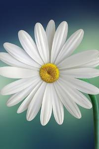 1440x2560 Daisy